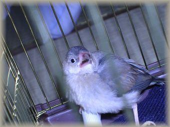 幼鳥時のポン