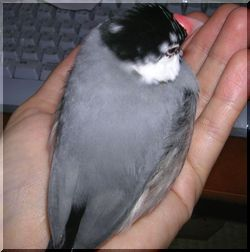 握りずし文鳥w