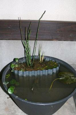 トクサ植えました