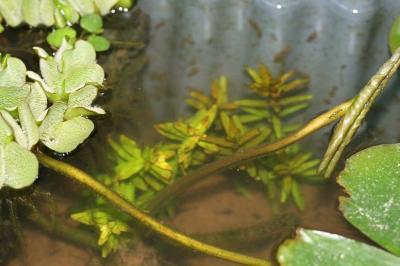 ロタラ水中葉