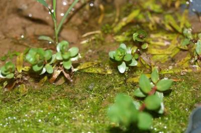グリーンロタラ水上葉