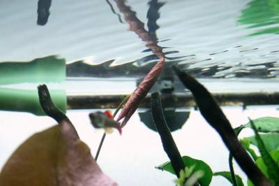 タイニムファの浮き葉