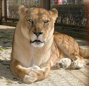 lion010_985756444675.jpg