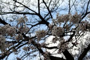090327sakura2.jpg