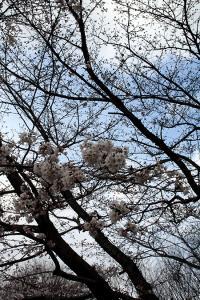 090327sakura.jpg
