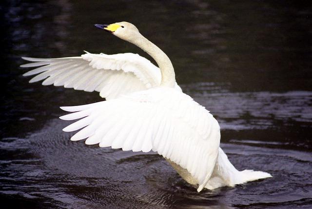 白鳥-33