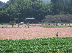 091018菜の花畑1