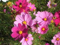 091018菜の花畑5