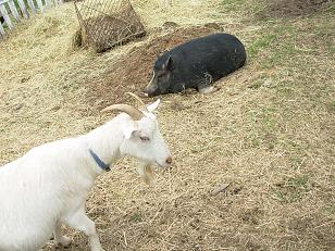 ヤギとブタさん