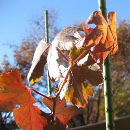 メルローの紅葉