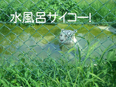 群馬サファリワールド ホワイトタイガー