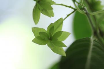 信州山紫陽花