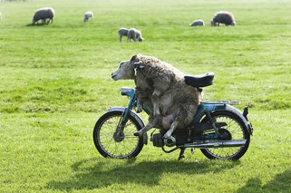 「原付き」に乗る羊