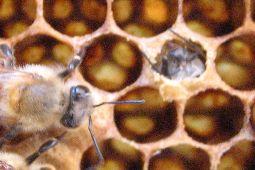 ミツバチ 001