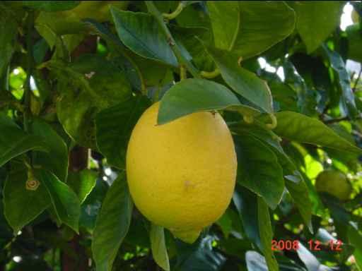色づいたレモン