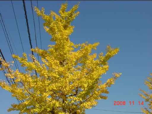 イチョウ並木3