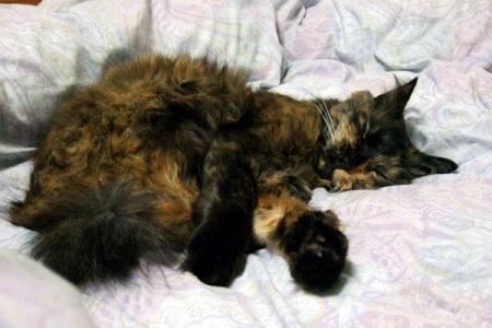 布団に寝るムギ