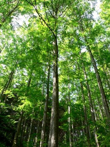 metasequoia01.jpg