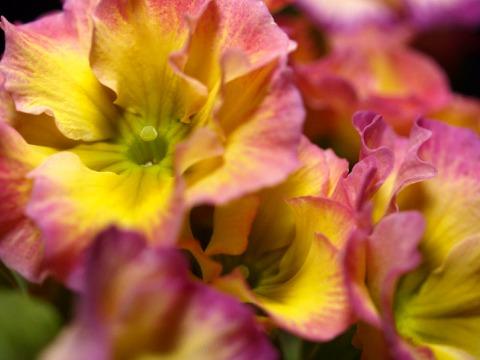 polyanthus01.jpg