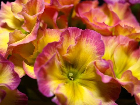 polyanthus02.jpg