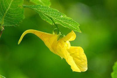 ツリフネソウ黄色