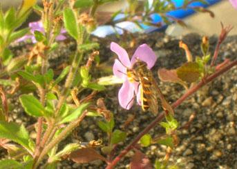 ハチとステラ