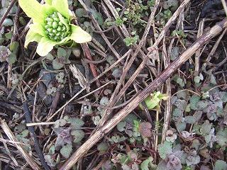 ふきのとうブログ菜の花、ふきのとう、土筆(つくし) 003