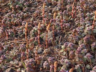 ふきのとうブログ菜の花、ふきのとう、土筆(つくし) 004