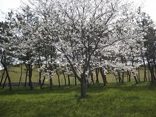 ・大山公園桜祭り 009