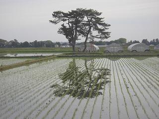 ウォーキング・発芽・水田・花・シャガ・ライラック 007