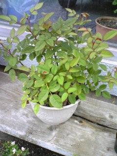 ミニバラ葉