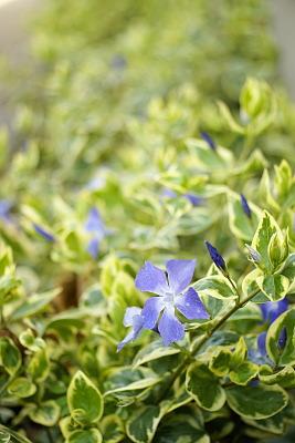 0319-3ツルニチソウの花