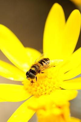 0401-3ユリオプスデージーとミツバチ
