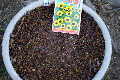 0406-2ミニひまわり種まき