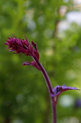 0406-5ヒューケラの花