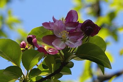 0407-8姫国光リンゴの花