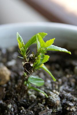 0410-4挿し木のハイビスカス