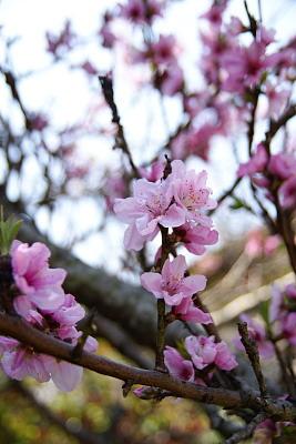 0412-4桃の花