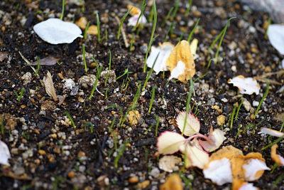 0416-7芝の発芽