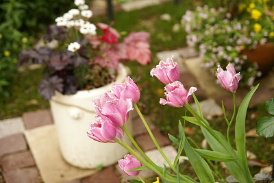 0426-4チューリップと北の花壇の様子横