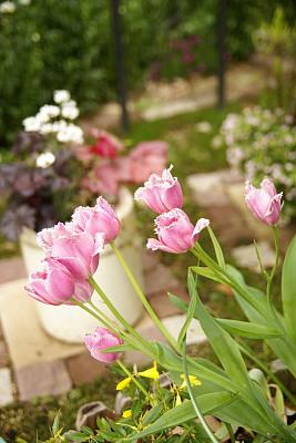 0426-5チューリップと北の花壇の様子2