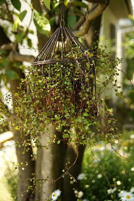 0501鳥籠と苔玉