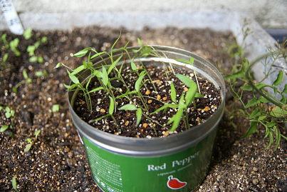 0516-2唐辛子の植え替え2