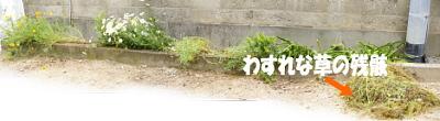 0516-4わすれな草残骸
