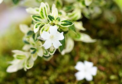 0521-8斑入り白鳥花アップ