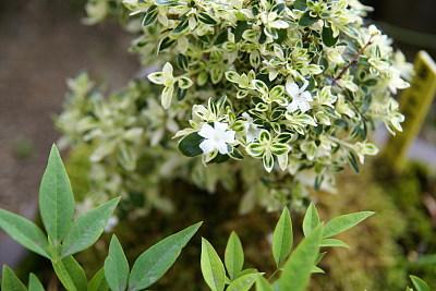 0521-7斑入り白鳥花
