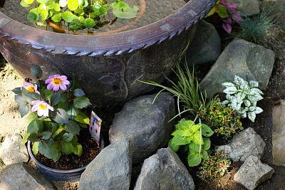 0620-7睡蓮鉢回りダリア植栽