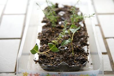 0626-1フクシアハナカンザシ挿芽