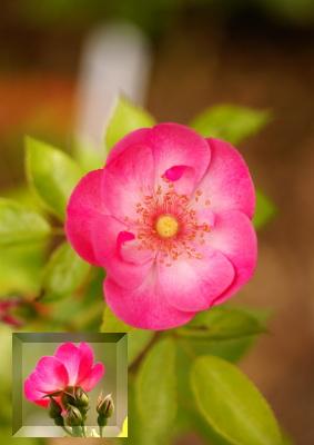 0628-3木立性バラ