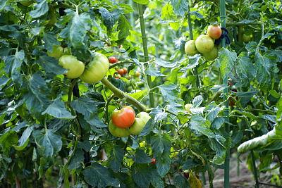 0712-7家庭菜園のトマト